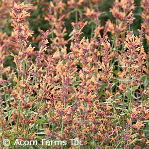 AGASTACHE SUNRISE ORANGE