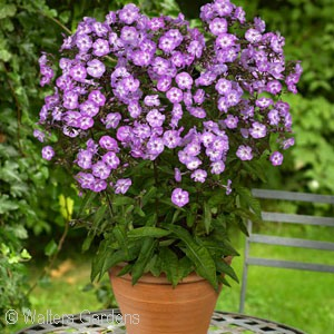 PHLOX PAN PIXIE MIRACLE GRACE