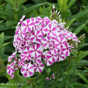 PHLOX PAN CANDY TWIST