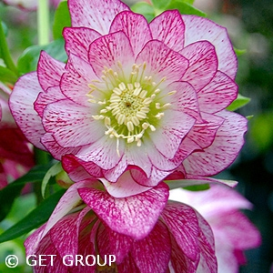 HELLEBORUS PEPPERMINT ICE