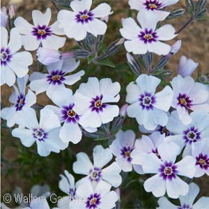 PHLOX SUB NORTH HILLS