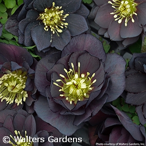 HELLEBORUS DARK AND HANDSOME