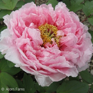 PAEONIA SUF LIGHT PINK
