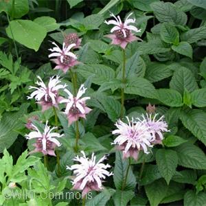 Monarda bradburiana - Pennsylvania Native Plant