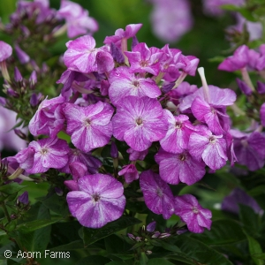 PHLOX PAN BLUE SHADES