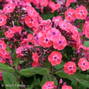 PHLOX PAN JR DANCE