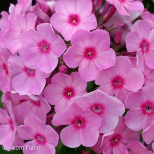 PHLOX PAN JR BOUQUET