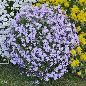 PHLOX SUB EMERALD BLUE