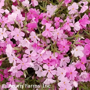 PHLOX SUB STRAWBERRIES AND CREAM