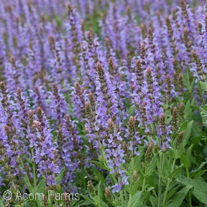 SALVIA NEM BLUE HILL