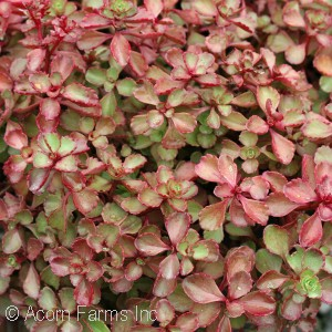 SEDUM SPU RED CARPET