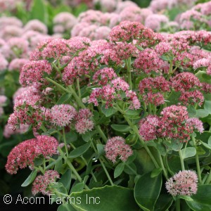 SEDUM SPE AUTUMN JOY