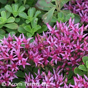 SEDUM SPU DRAGONS BLOOD