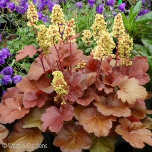 HEUCHERA BLONDIE