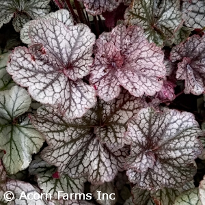 HEUCHERA N EXPOSURE SILVER