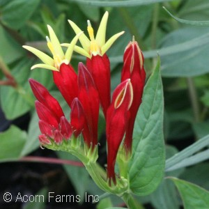 Spigelia marilandica - Pennsylvania native perennial plant