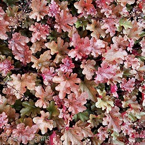 Heuchera Dolce' ™ Series