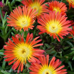 DELOSPERMA FIRE WONDER