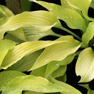 HOSTA PRAIRIE MOON
