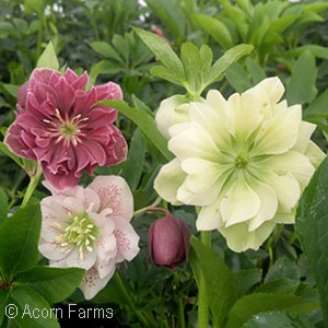 HELLEBORUS WINTER THRILLERS MX