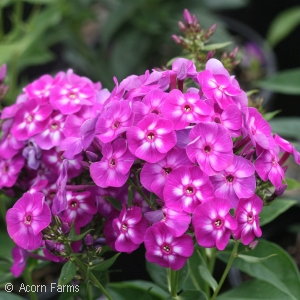 PHLOX PAN LAURA