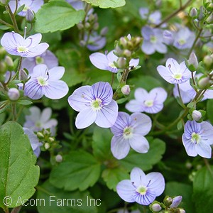 VERONICA WATERPERRY BLUE