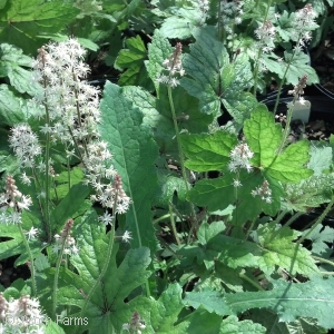TIARELLA SKELETON KEY