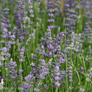 LAVANDULA ANG VIOLET INTRIGUE