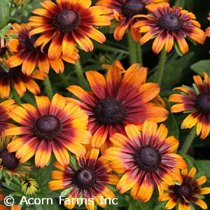 ECHIBECKIA SUMMER PUMPERNICKEL