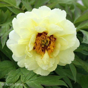 PAEONIA SUF HIGH NOON