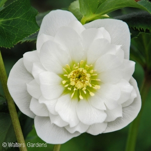 HELLEBORUS WEDDING RUFFLES