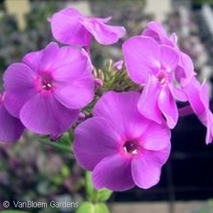 PHLOX PAN PURPLE FLAME