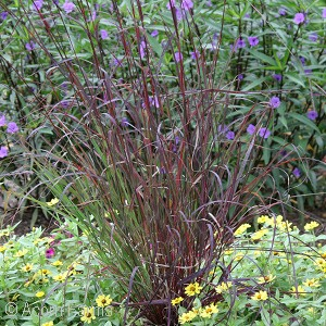ANDROPOGON GER RED OCTOBER