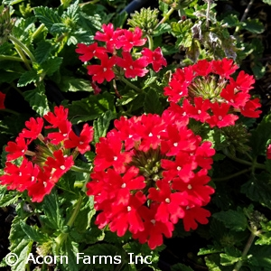 VERBENA CAN HOMESTEAD RED