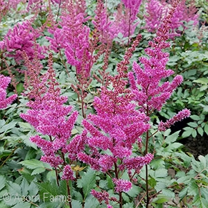 ASTILBE CHI MAGGIE DALEY