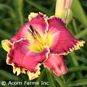 HEMEROCALLIS RASPBERRY ECLIPSE
