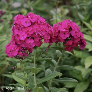 PHLOX PAN PEACOCK NEON PURPLE