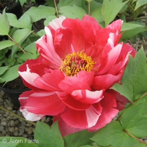 PAEONIA SUF RED AND WHITE