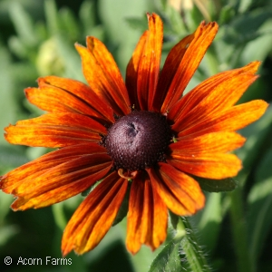 ECHIBECKIA SUMMERINA ORANGE