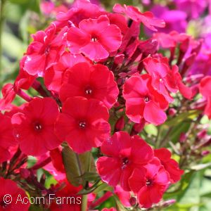 PHLOX PAN RED FLAME