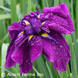 IRIS ENS ROYAL ROBES