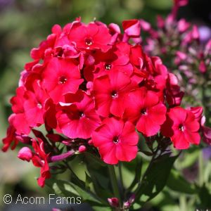 PHLOX PAN RED RIDING HOOD