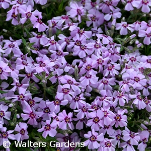 PHLOX SUB EYE CANDY