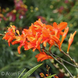 CROCOSMIA ORANGE LUCIFER