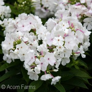 PHLOX PAN WHITE FLAME
