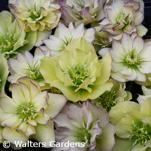 HELLEBORUS FIRST DANCE