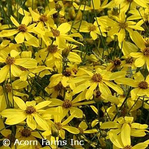 COREOPSIS MAYO FLOWER OF HOPE