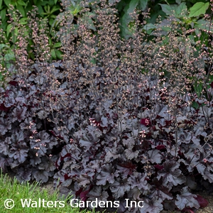 Heuchera PRIMO' ™ Series