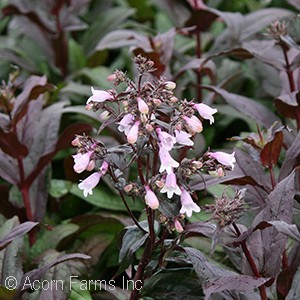 PENSTEMON MIDNIGHT MASQUERADE