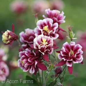 AQUILEGIA VUL WINKY RED AND WH